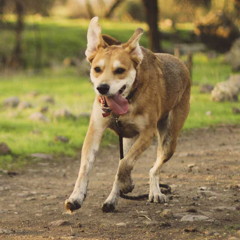 Can A Dogs Partially Torn Acl Heal On Its Own